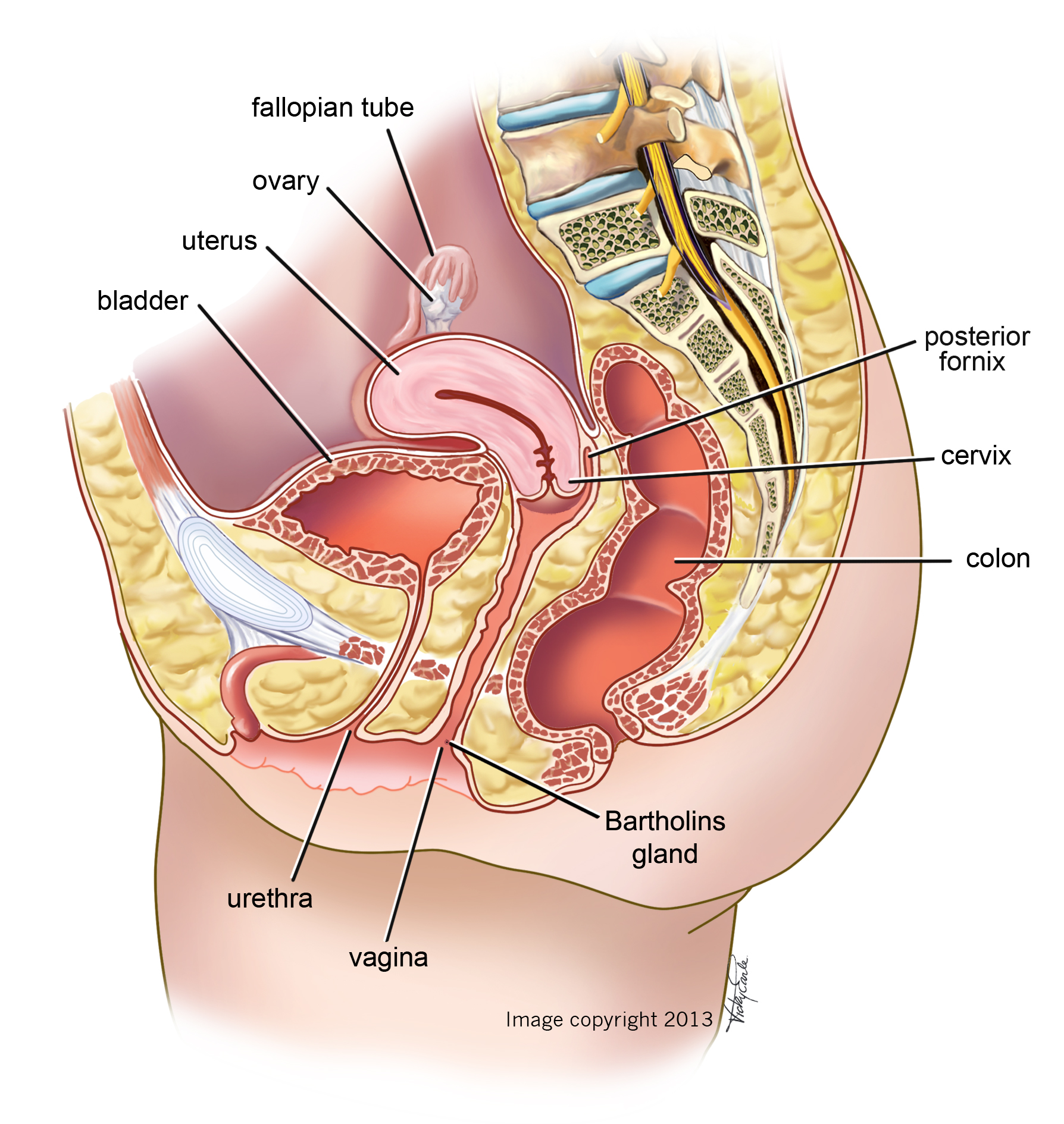 Female Anatomyside View Vicky Earle Medical Illustration
